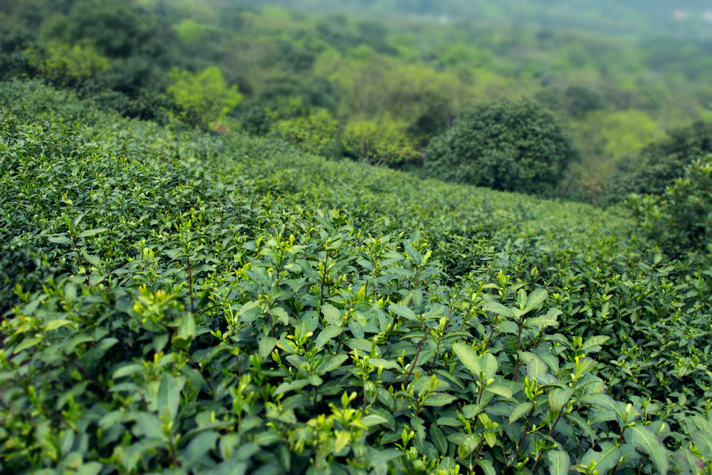 informal tea pure green teafields
