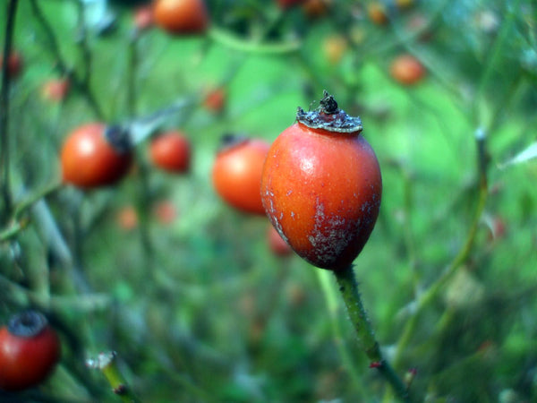 picking wild grown rosehips tauranga new zealand