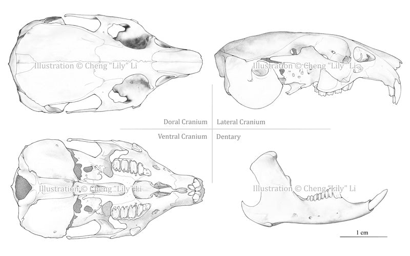 Ochotona Cranium and Dentary