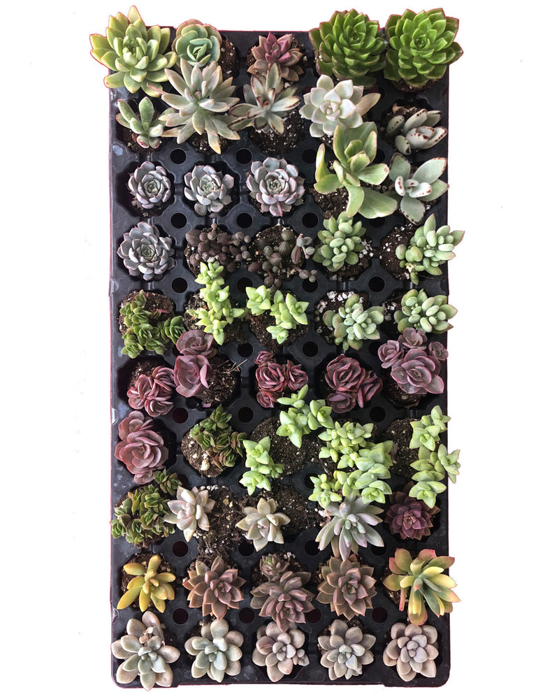 "Baby Succulents Favors / Wholesale (2.5"")"