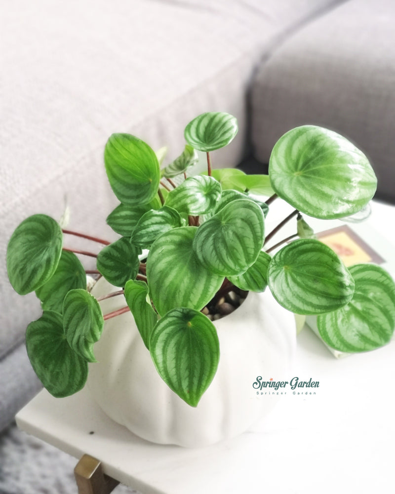 Peperomia Watermelon with Pumpkin Pot