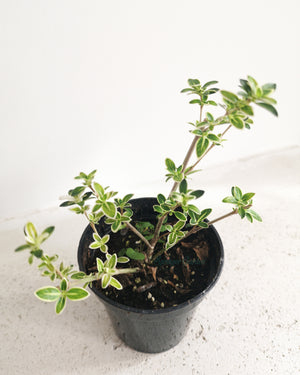 Serissa Foetida (Snow Rose)