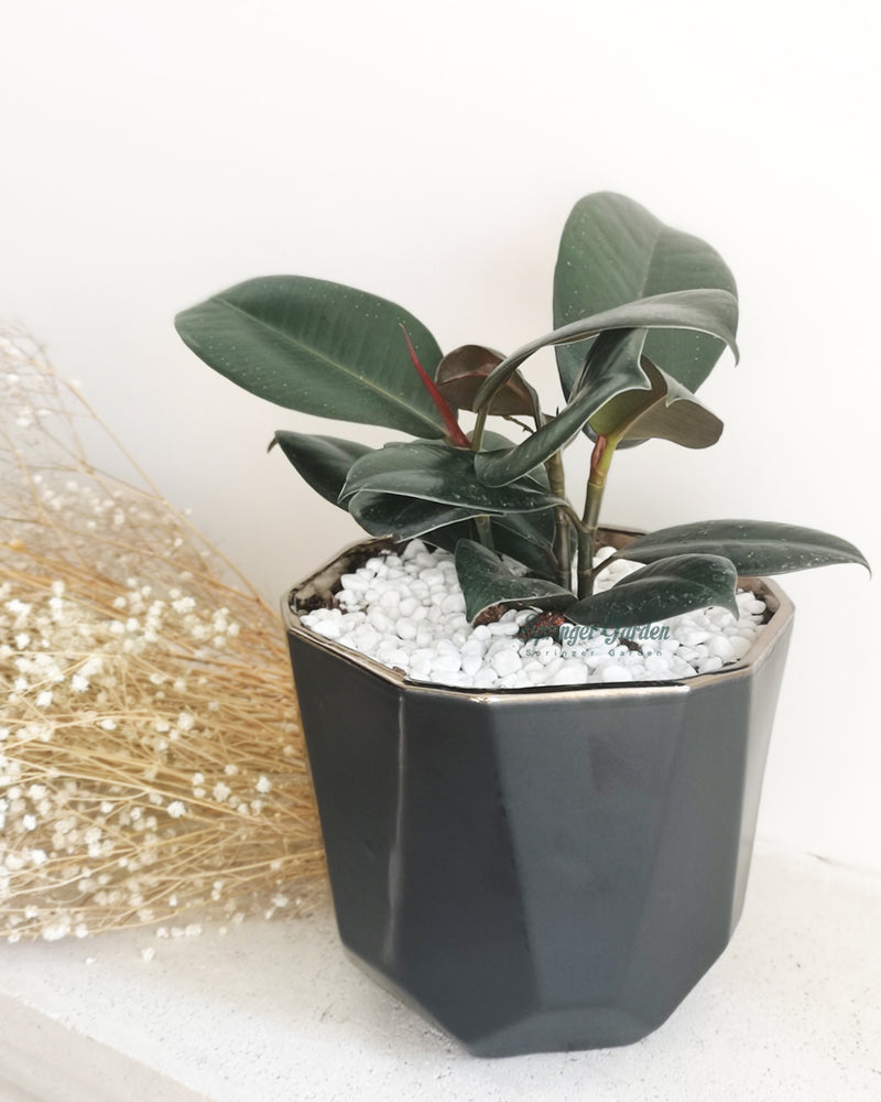 Rubber Plant with Blacky Pot