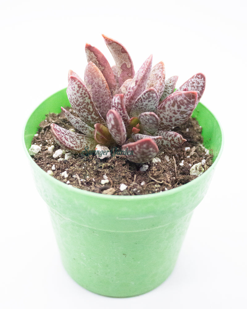 Load image into Gallery viewer, Adromischus Marianiae cv. Blosianus
