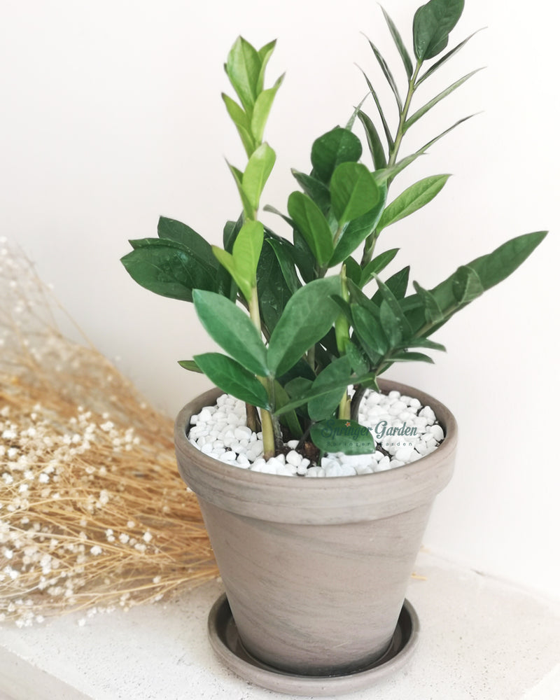 ZZ Plant with Transitional Pot