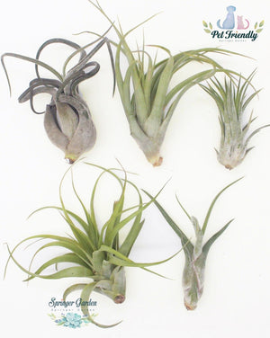 Load image into Gallery viewer, Air Plant