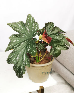 Begonia 'Angel Wing'