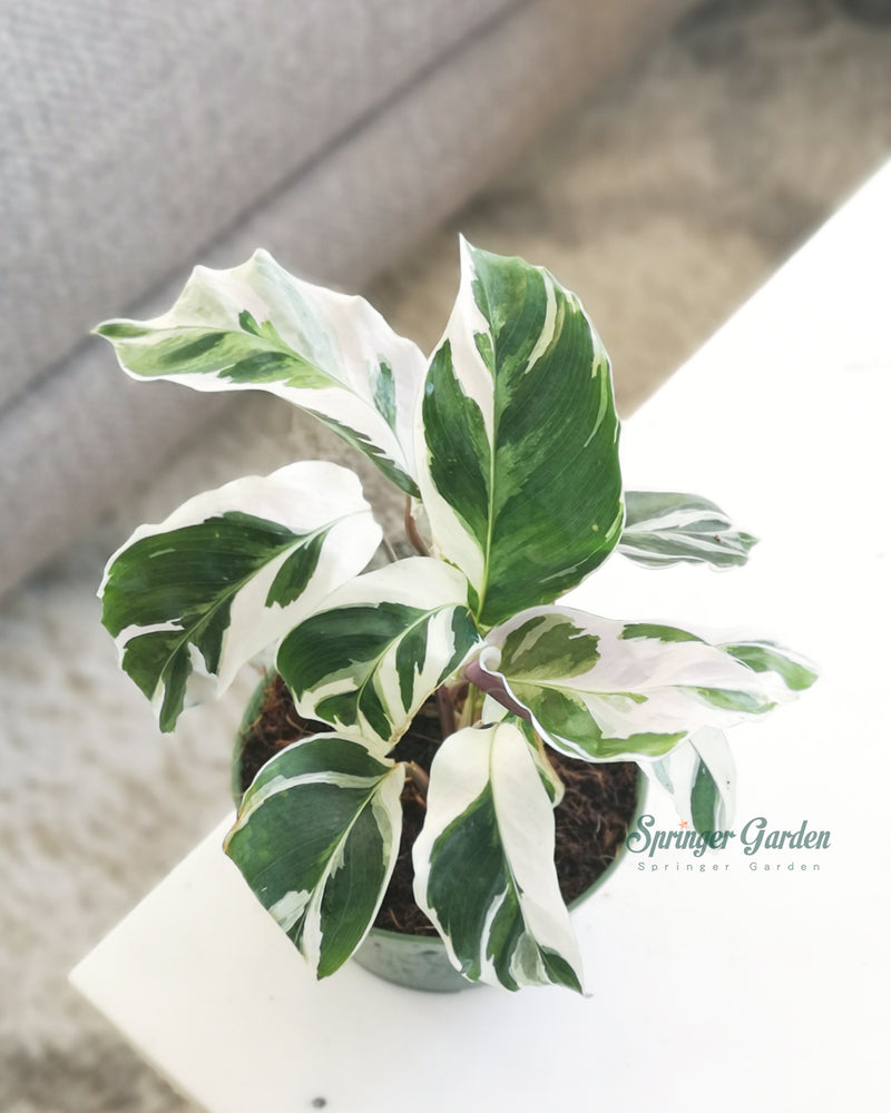 Calathea Fusion WhiteThis Fusion White variety of Calathea has lovely green and white marbling on the leaves with pale purple undersides. It is a wonderfully showy, decorative plant that is bound to attract attention.