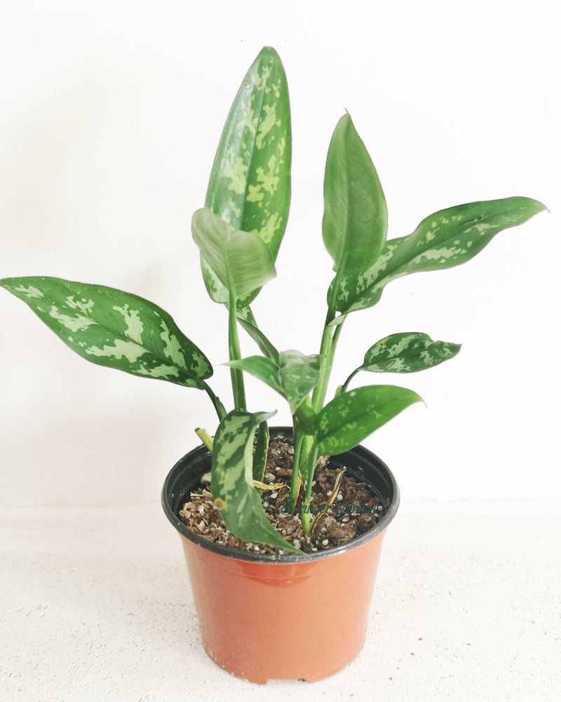 Load image into Gallery viewer, Chinese Evergreen Maria