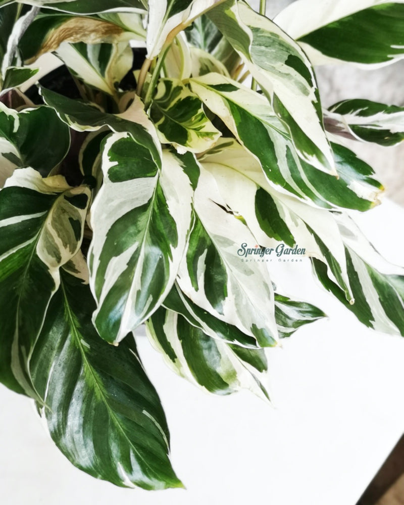 Load image into Gallery viewer, Calathea Fusion White