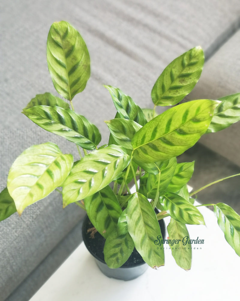 Load image into Gallery viewer, Calathea Leopardina