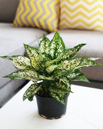 Chinese Evergreen Osaka White