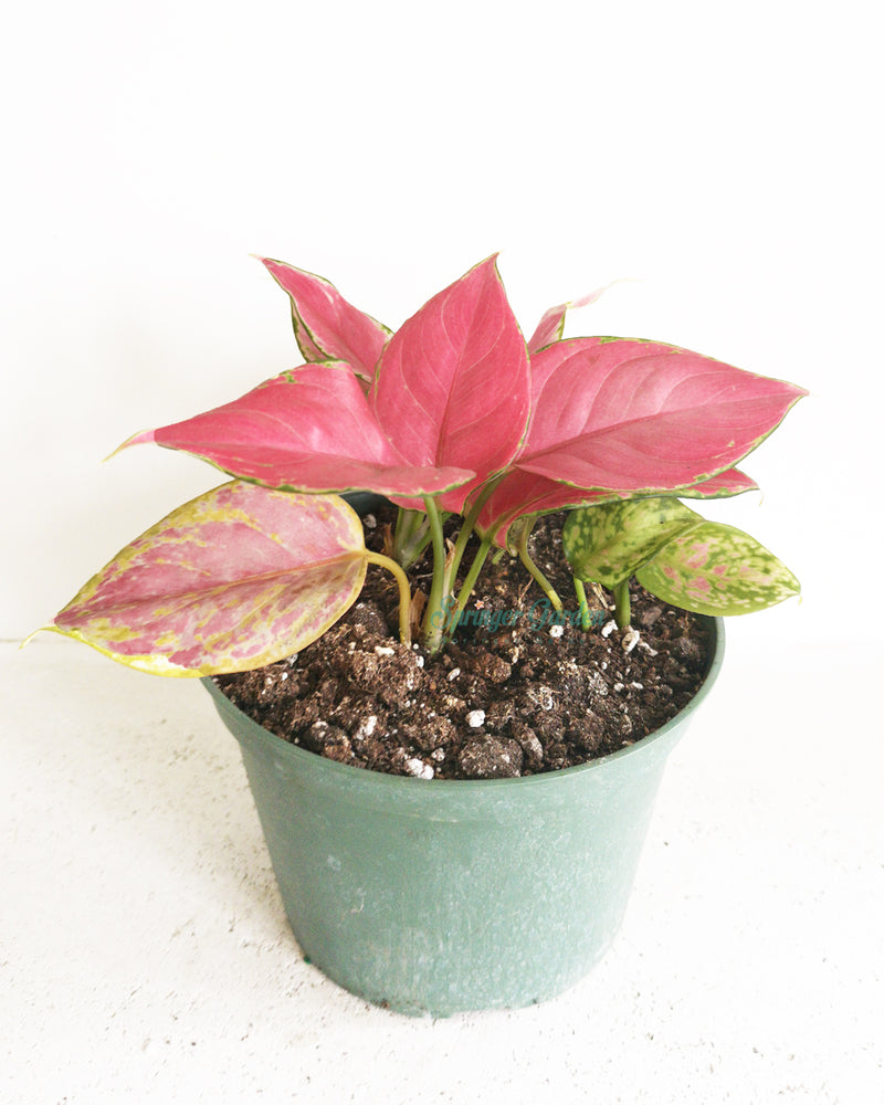 Chinese Evergreen Red Wishes
