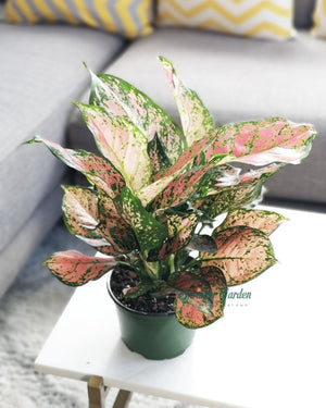 Chinese Evergreen Valentine