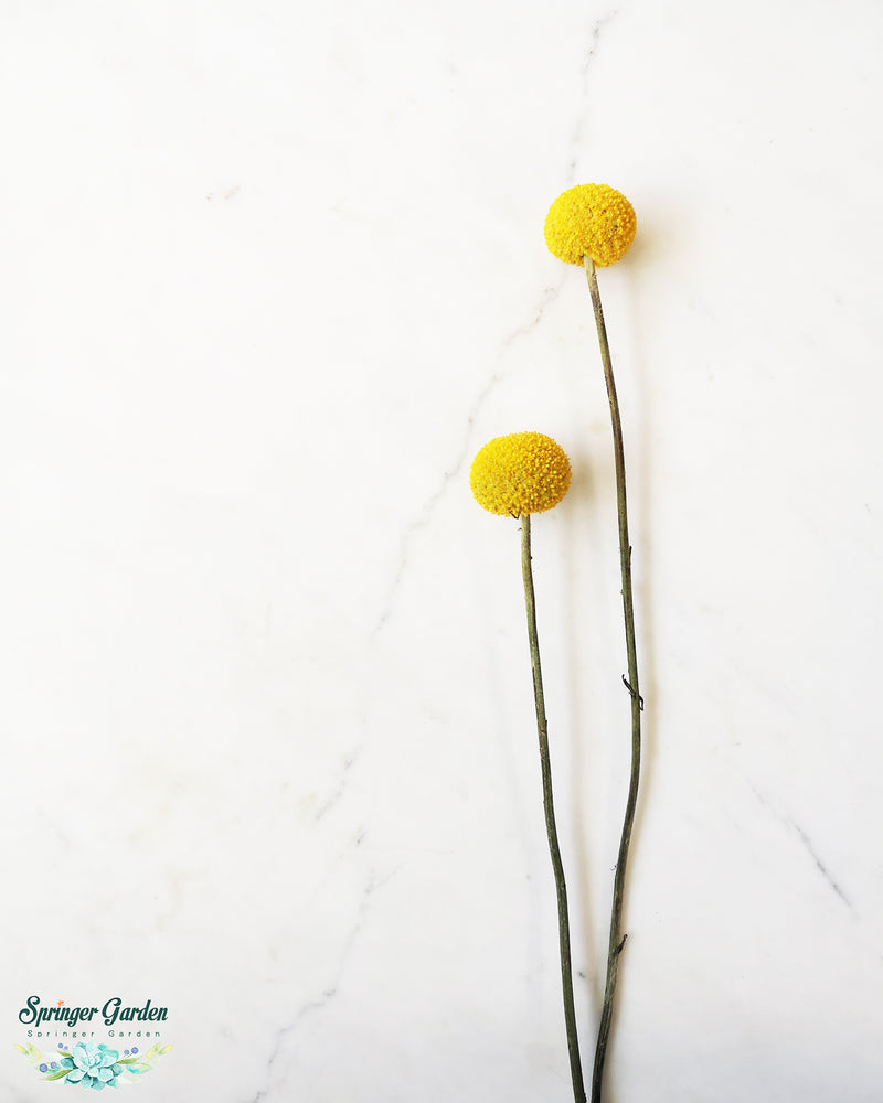 Craspedia Globosa / 4 Stems