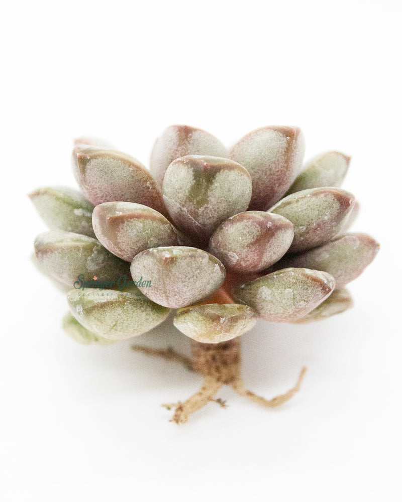 Load image into Gallery viewer, Echeveria Amerum