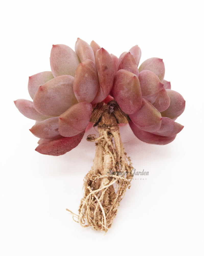 Load image into Gallery viewer, Echeveria Ariel Cluster