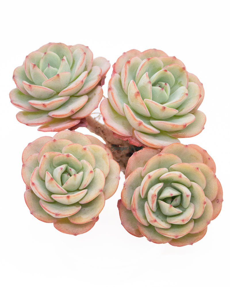 Echeveria Atlantis - 4 Head