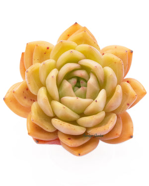 Load image into Gallery viewer, Echeveria Champagne