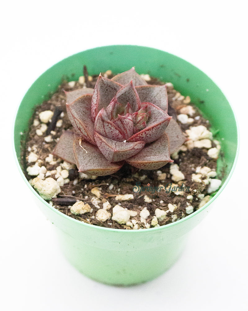 Load image into Gallery viewer, Echeveria Dionysos