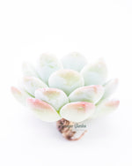 Echeveria Ice Green