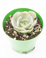 Echeveria Irish Mint