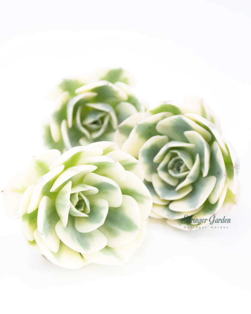 Load image into Gallery viewer, Echeveria Lenore Dean