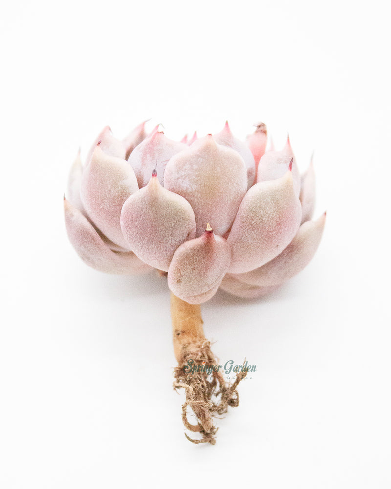 Load image into Gallery viewer, Echeveria Mexensis Zaragosa - Pink