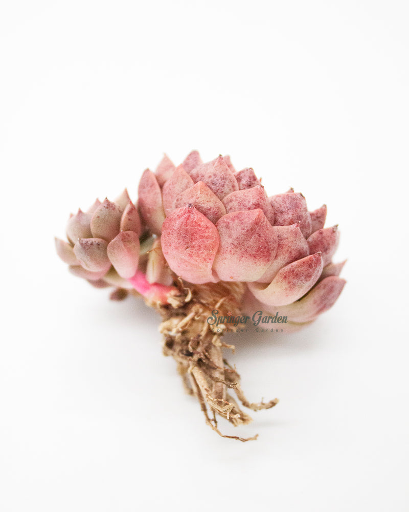 Load image into Gallery viewer, Echeveria Olivia