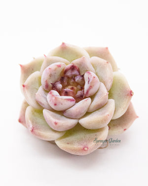 Load image into Gallery viewer, Echeveria Red Velvet