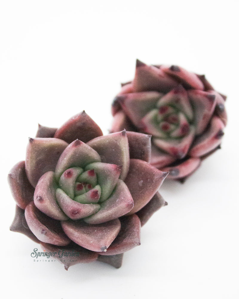 Echeveria Red Ebony