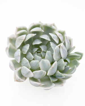 Load image into Gallery viewer, Echeveria Roral Crisantinum