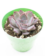 Echeveria 'Dark Ice'