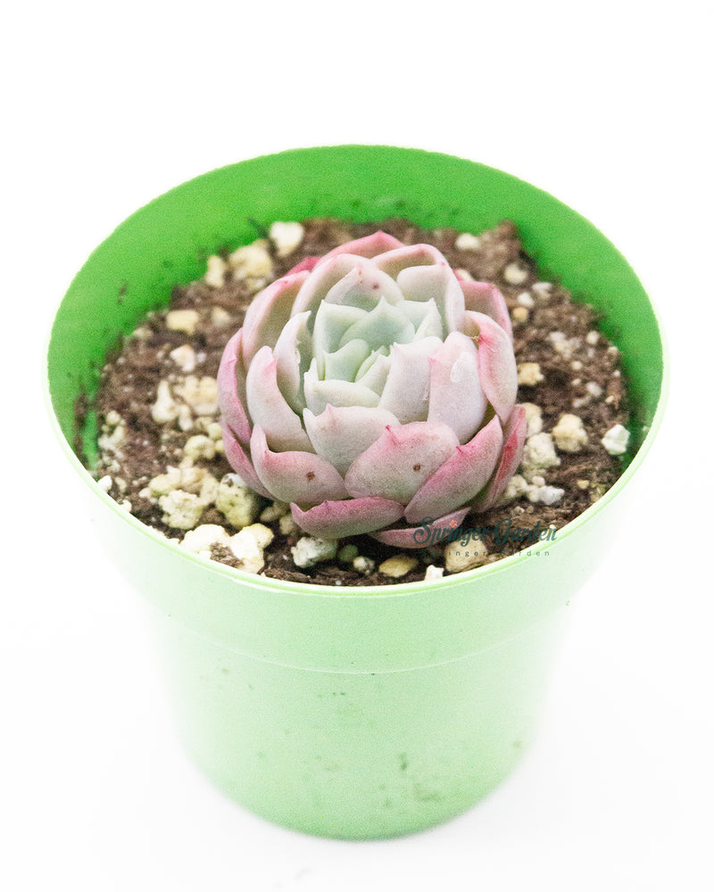 Load image into Gallery viewer, Echeveria Cream Berry