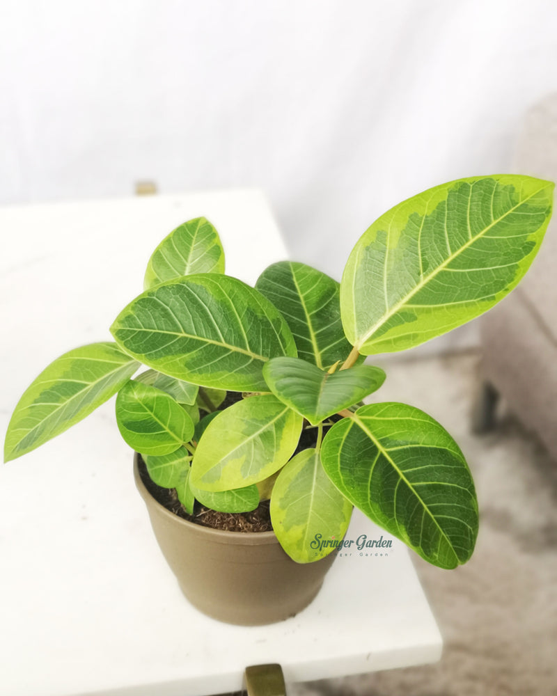 Load image into Gallery viewer, Ficus Altissima