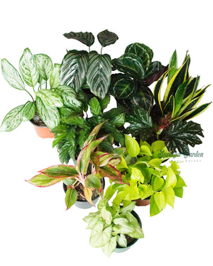 "Load image into Gallery viewer, Houseplant Wholesale 5""-8""Pot"