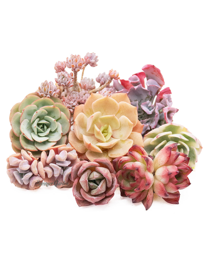 Korean Rare Succulents *Platinum* Bundle