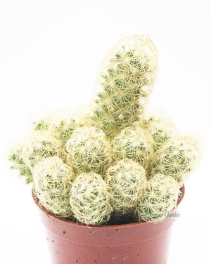 Load image into Gallery viewer, Ladyfinger Cactus