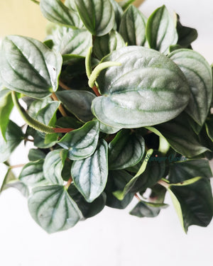 Load image into Gallery viewer, Peperomia Frost
