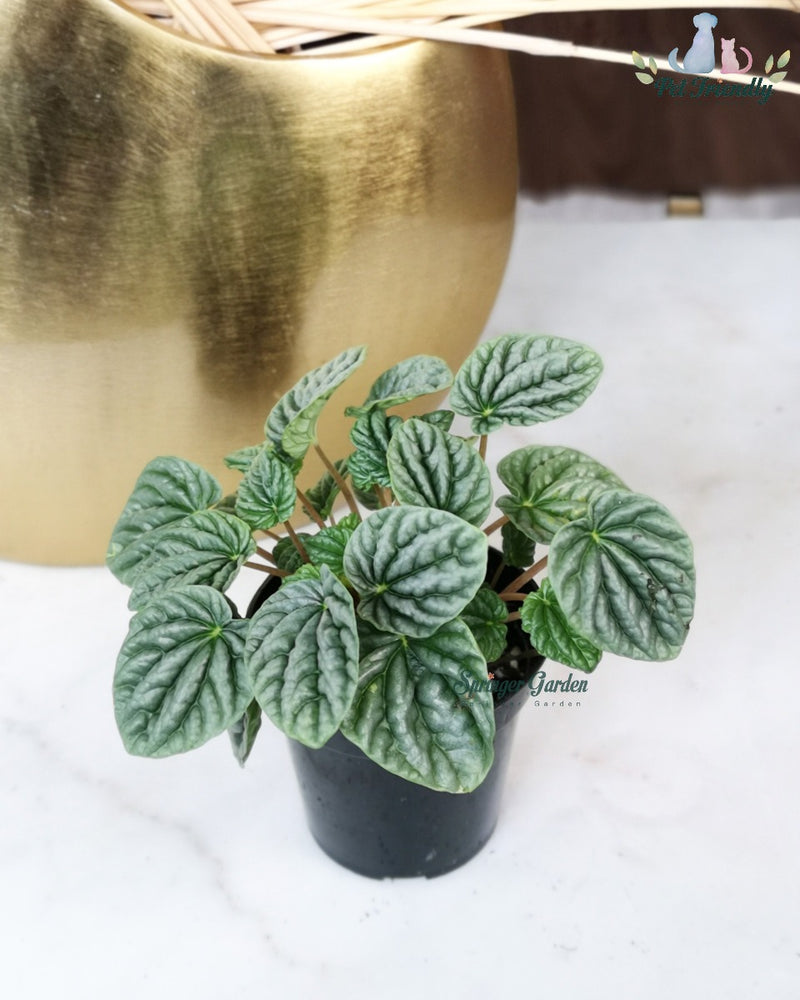 Load image into Gallery viewer, Peperomia Caperata Silver Ripple