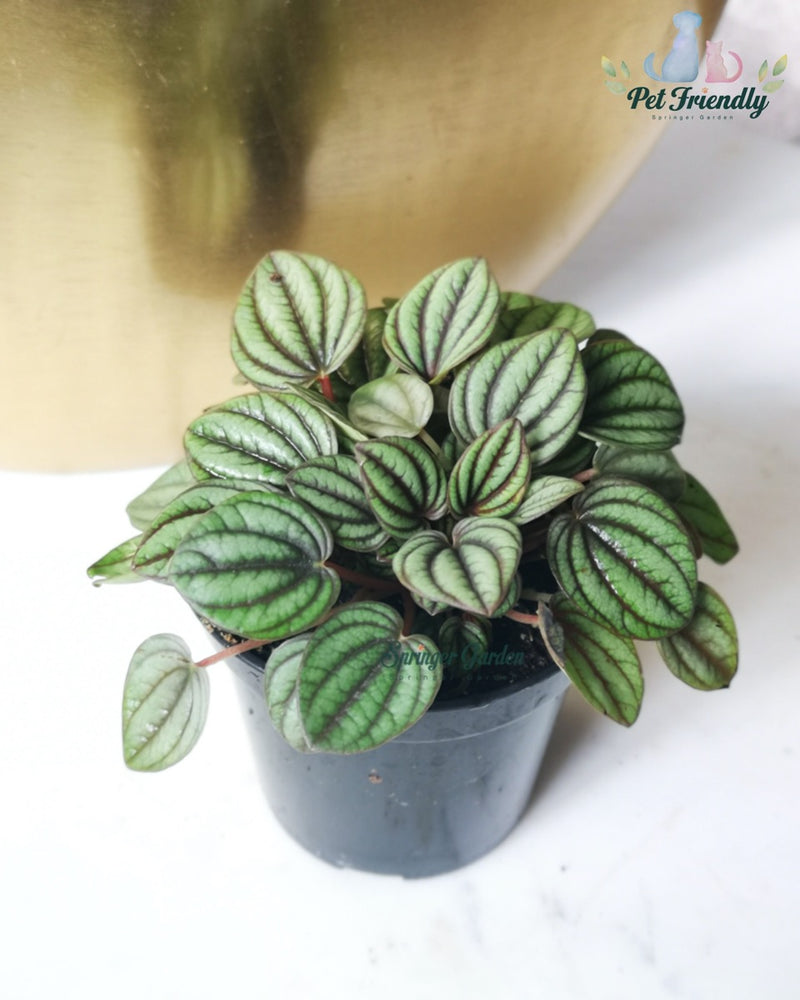 Load image into Gallery viewer, Peperomia Piccolo Banda