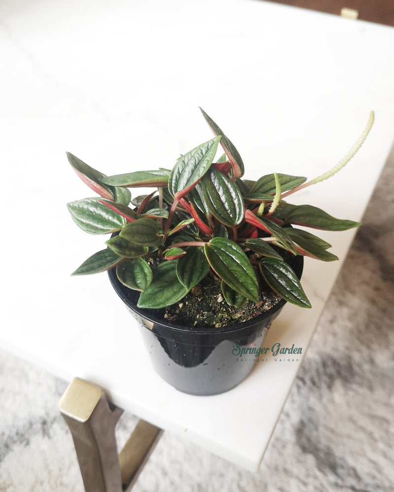 Load image into Gallery viewer, Peperomia Rosso