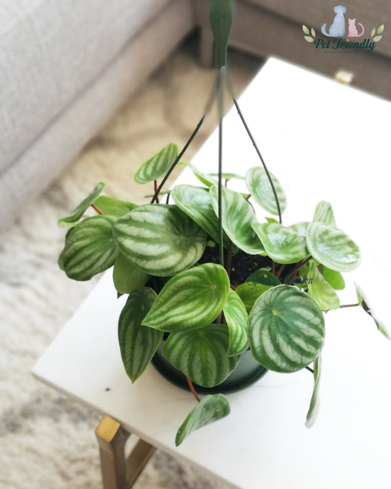 Load image into Gallery viewer, Peperomia Watermelon