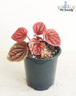 Peperomia Ripple 'Schumi Red'