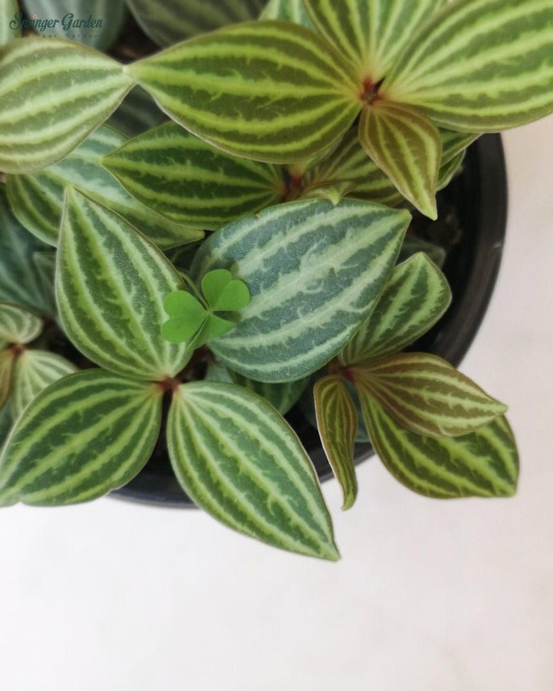 Load image into Gallery viewer, Peperomia Tetragona