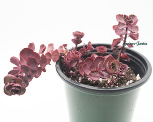 Load image into Gallery viewer, Sedum spurium cv. Dragon's Blood (Propagation)