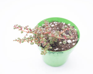 Load image into Gallery viewer, Pilea Serpyllacea 'Globosa'
