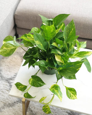 Load image into Gallery viewer, Pothos Marble Queen