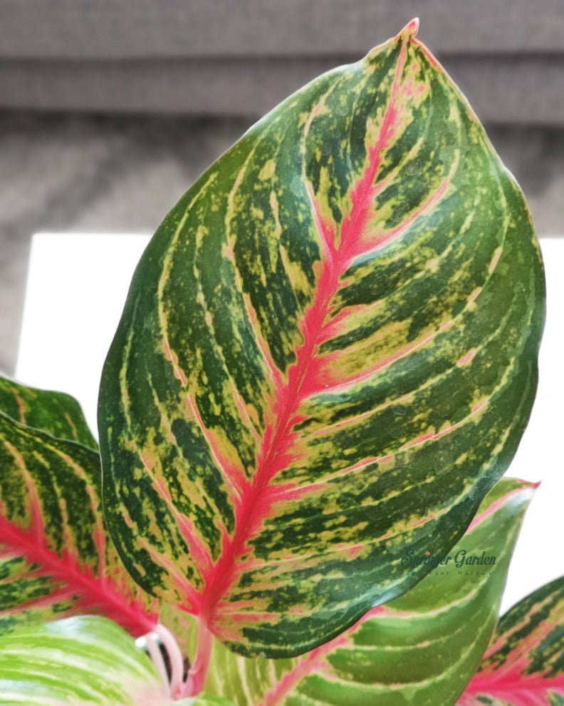Red Emerald Red Aglaonema