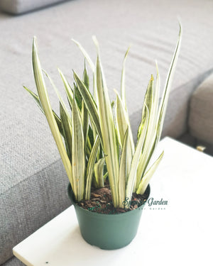 Load image into Gallery viewer, Sansevieria Bantel's Sensation